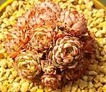 로이드 묵은둥이-19|Echeveria minima hyb Roid