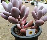홍미인군생-88|Pachyphytum ovefeum cv. momobijin