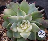 치와와금|Eeveria chihuahuaensis