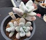 문스톤(자연군생)|Pachyphytum Oviferum Moon Stone