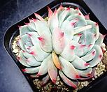 치와와금37|Eeveria chihuahuaensis