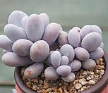 문스톤(자연)|Pachyphytum Oviferum Moon Stone