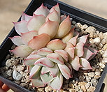 핑크팁스 33-137|Echeveria Pink Tips