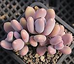 홍미인 묵은둥이 자연군생 8520|Pachyphytum ovefeum cv. momobijin