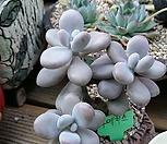아메치스(화분포함)|Graptopetalum amethystinum