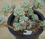(3月)라울g95 Sedum Clavatum