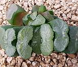 옥선군생 Haworthia truncata