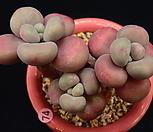 아메치스_p74|Graptopetalum amethystinum