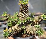 괴마옥한몸자연군생大 Euphorbia hypogaea