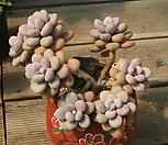 아메치스 한몸 묵은둥이|Graptopetalum amethystinum