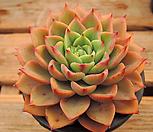 아이스핑키 (96) Echeveria cv Pinky