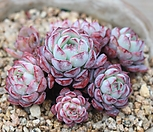 묵은 목대 로이드 자연군생|Echeveria minima hyb Roid
