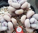 아메치스|Graptopetalum amethystinum
