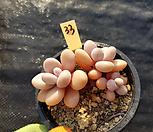 아메치스33|Graptopetalum amethystinum