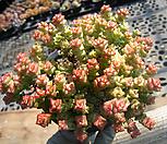 희성금0324-1|Crassula Rupestris variegata
