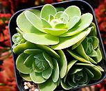 오리지널기간티아241(적심) Greenovia diplocycla var.gigantea