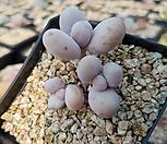 문스톤(116)ㅡ작아도 묵은둥이|Pachyphytum Oviferum Moon Stone