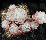 라즈베리아이스0324 Echeveria Rasberry Ice
