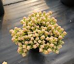 희성금대품37|Crassula Rupestris variegata