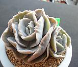 릴리시나금 3-442|Echeveria lilacina