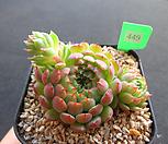 글로블로사 3-449|Echeveria globulosa