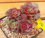 롱기시마 벨바라 자연군생|Echeveria longissima