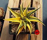 유리전 금|Haworthia limifolia f.variegata