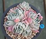 라즈베리아이스(적심)|Echeveria Rasberry Ice