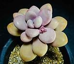 아메치스묵은목대73|Graptopetalum amethystinum