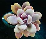 아메치스묵은목대75|Graptopetalum amethystinum