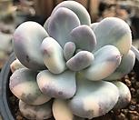 오비포럼금3|Pachyphytum oviferum