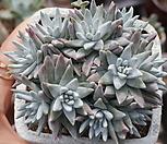 화이트그리니자연목대군생한몸목대짱(11두)|Dudleya White gnoma(White greenii / White sprite)