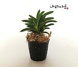 흑금강/난/동양란/풍란/공기정화식물/꽃/나라아트|