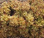 샤치철화대품,2018.03/27|Echeveria agavoides f.cristata Echeveria