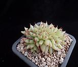 골드샤치철화491|Echeveria agavoides f.cristata Echeveria