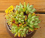샤치철화군생|Echeveria agavoides f.cristata Echeveria