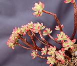 홍치아철화 묵은둥이|Echeveria macdougallii