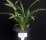 천금/난/동양란/공기정화식물/풍란/식물/꽃/나라아트|