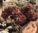 브라이언로즈철화|Echeveria Briar Rose