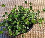 트리안(♡물방울처럼  잎이 예쁜아이에요)|Muehlenbekia complexa