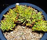 샤치철화42|Echeveria agavoides f.cristata Echeveria