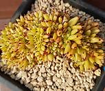 샤치철화 묵은둥이 57|Echeveria agavoides f.cristata Echeveria