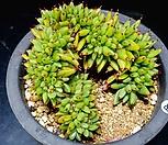 샤치철화68|Echeveria agavoides f.cristata Echeveria