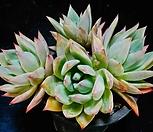 콜로라타브랜티hy15 Echeveria Colorata fma Brandtii