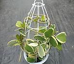 하트호야  꽃봉우리 있어요450|Hoya carnosa