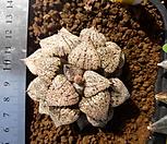 하월시아) 픽타실생|Haworthia picta