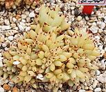 골드샤치철화|Echeveria agavoides f.cristata Echeveria