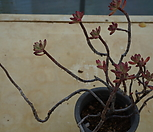 (4月)홍치아14|Echeveria macdougallii