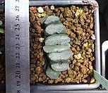 하월시아) 옥선R-2|haworthia