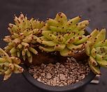 샤치철화4-125|Echeveria agavoides f.cristata Echeveria